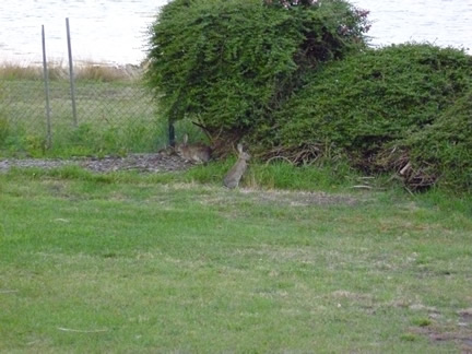A photo of 2 rabbits at the back of Franks house