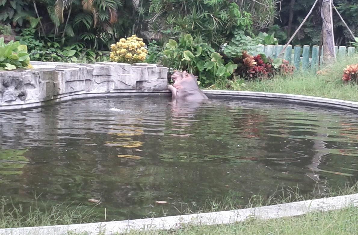 A Hippo at Guangzhou Zoo