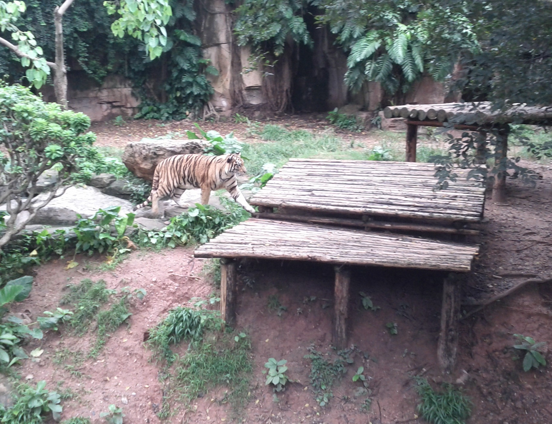 Tiger at Guangzhou zoo