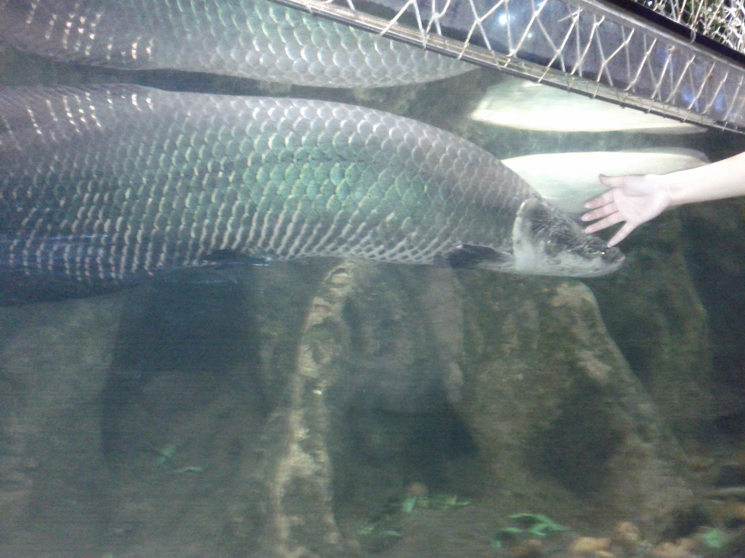 Large freshwater fish next to Yoyo's hand at Guangzhou zoo aquarium