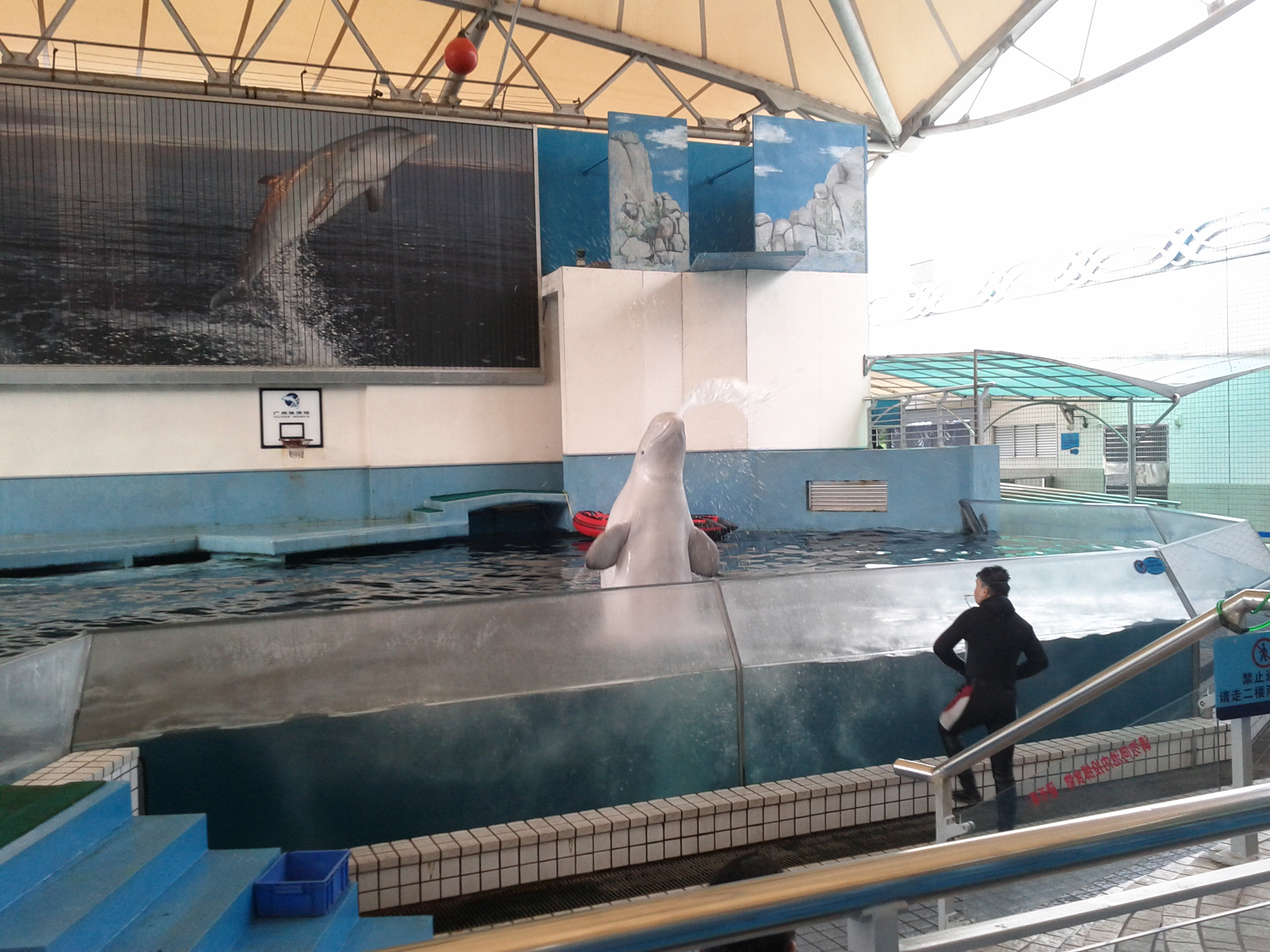 Beluga whale squirting water at Guangzhou zoo