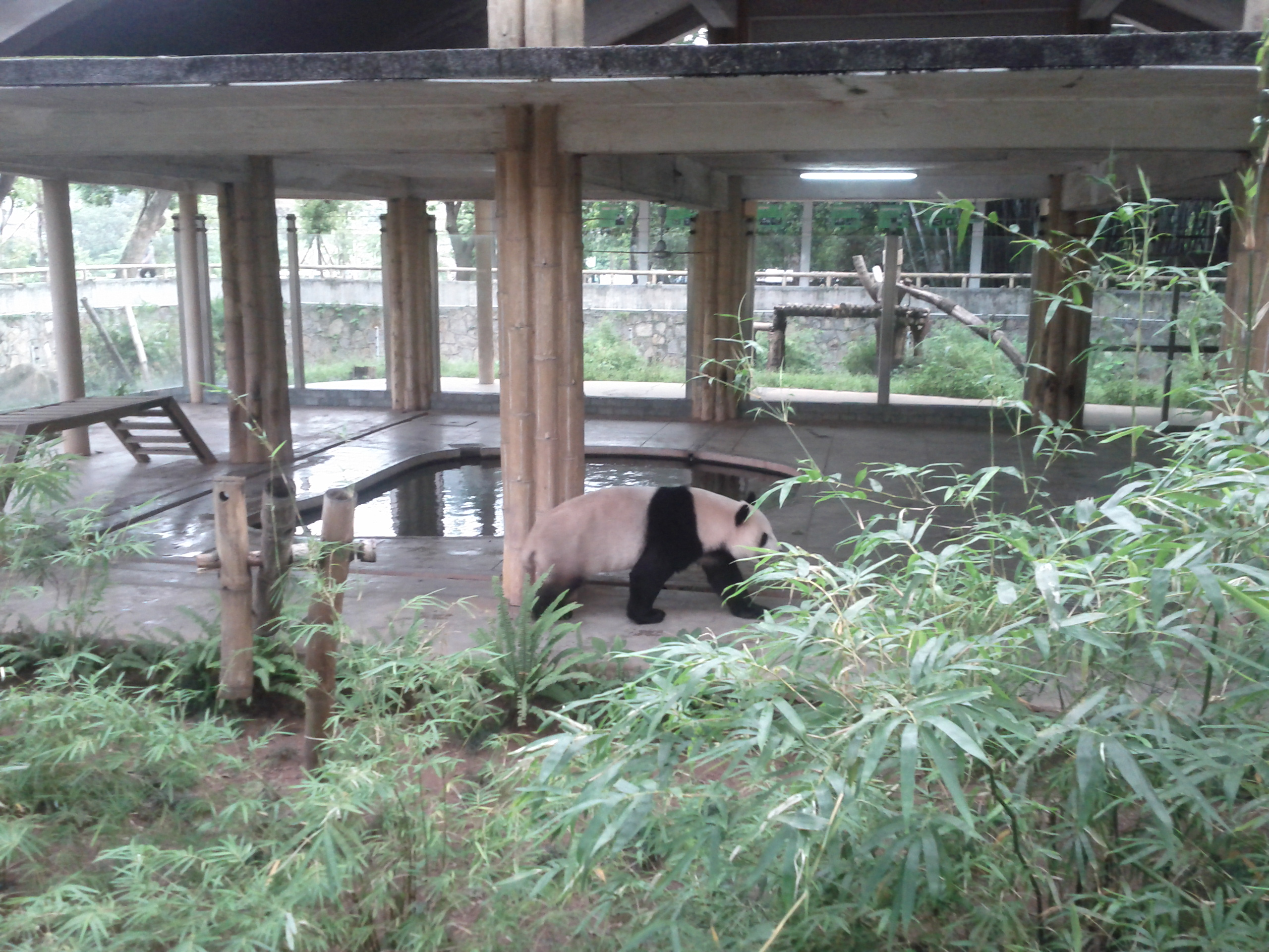 Panda at Guangzhou zoo